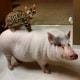 Pig Star, i maialini più famosi di Instagram! / Image 0