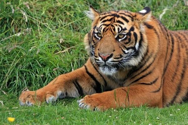 Il 29 luglio è la Giornata Internazionale della Tigre!