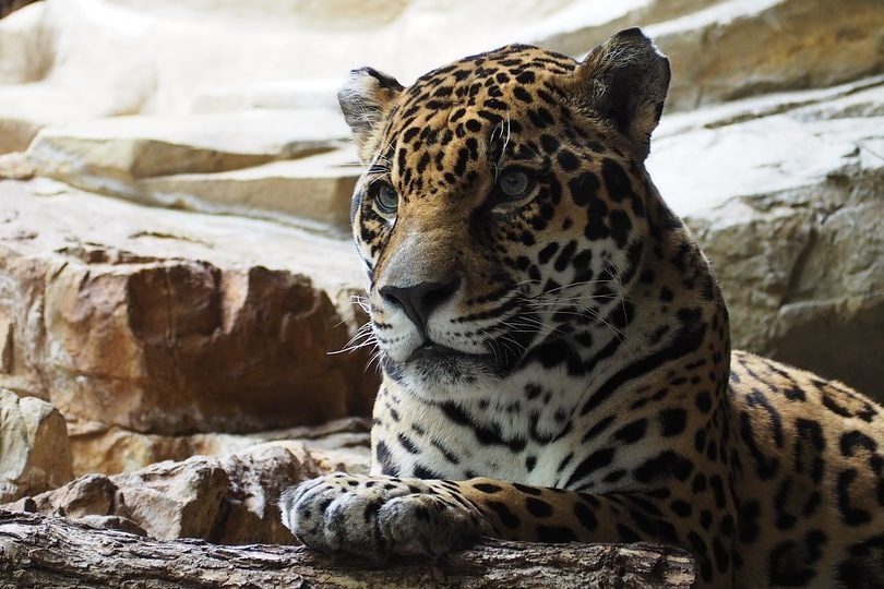 Felini selvatici nel mondo, vediamoli da vicino