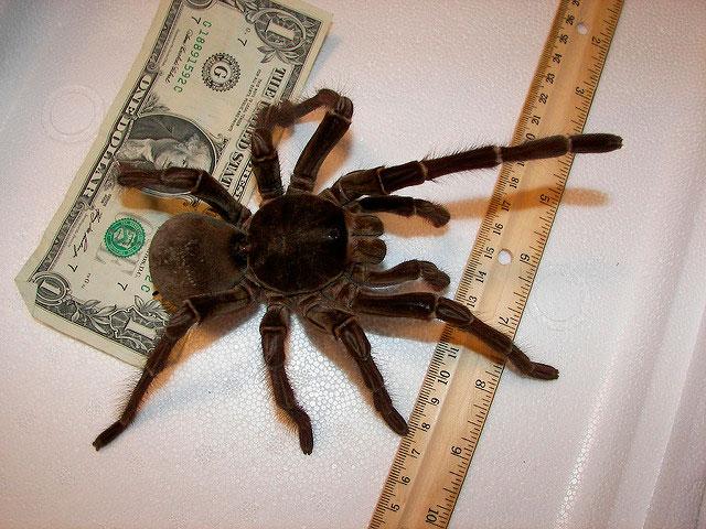 Curiosità animali | Qual è il ragno più grande del mondo?