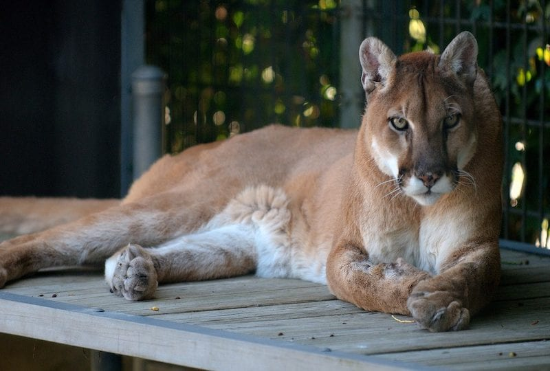 10 felini selvatici da scoprire in America