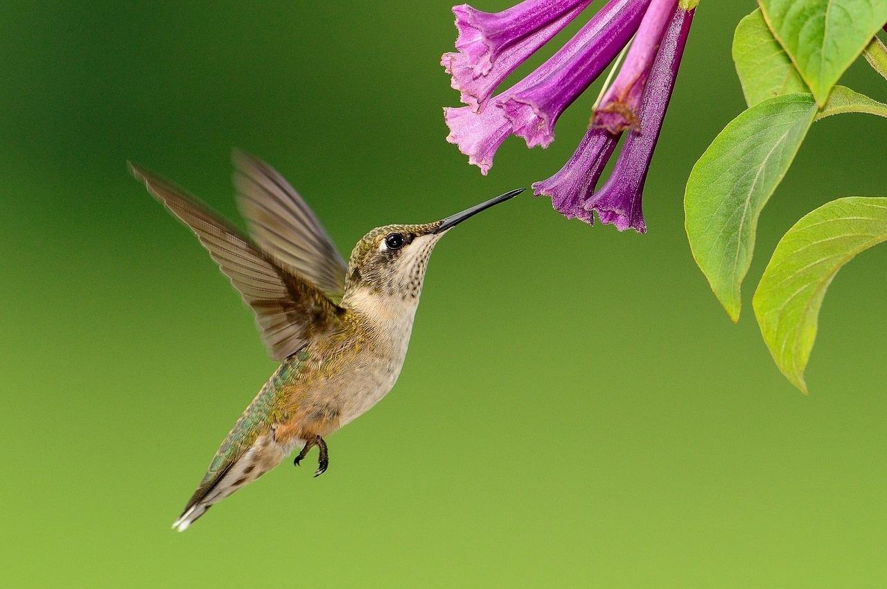 Come fanno i colibrì a volare all'indietro?