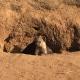 Il Koala, il simpatico dormiglione australiano! / Image 13