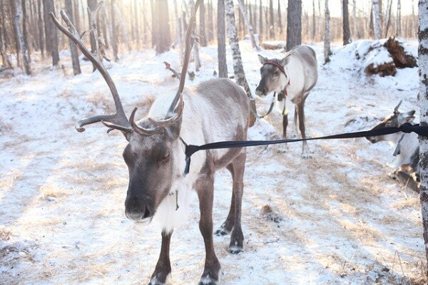 Siberia | Il cambiamento climatico mette in pericolo le renne