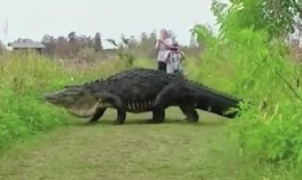 Un alligatore gigante a spasso nel parco!