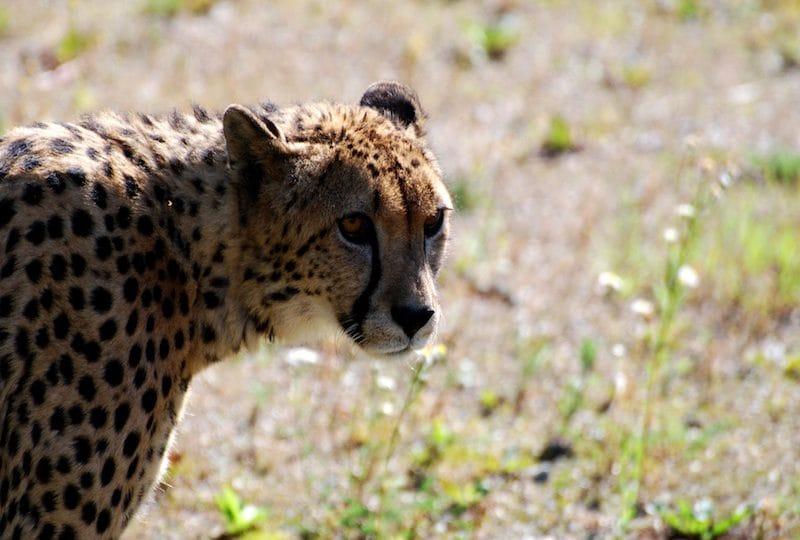 10 felini selvatici che vivono in Asia