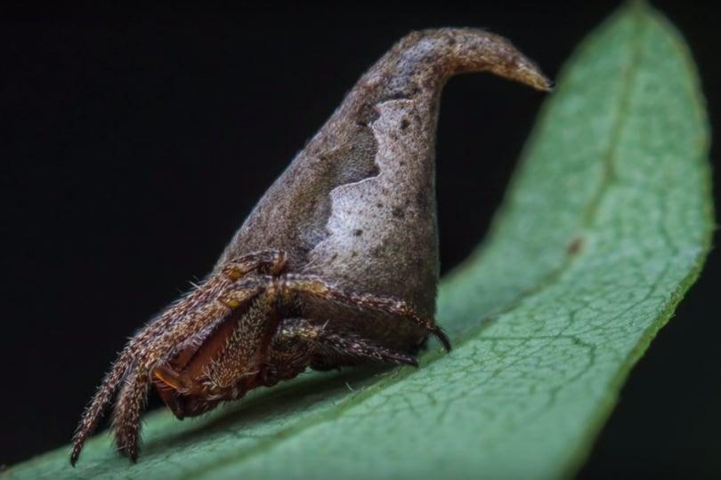 In India è stato scoperto un ragno che sembra il cappello magico di Harry Potter