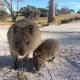 Il Koala, il simpatico dormiglione australiano! / Image 14