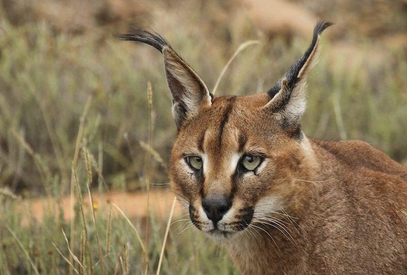 10 felini selvatici che potresti incontrare in Africa