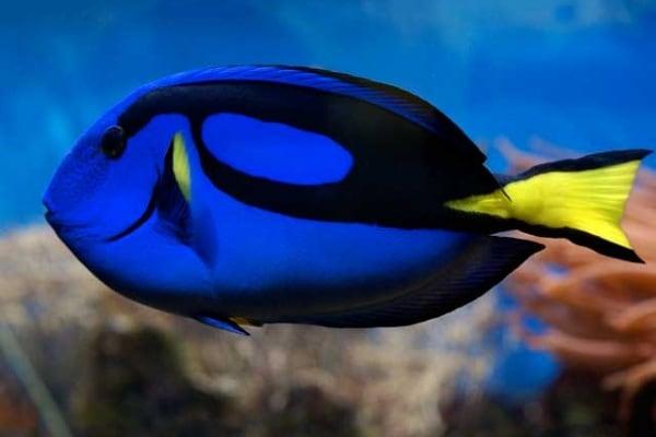 Curiosità | Perché il pesce chirurgo si chiama così?