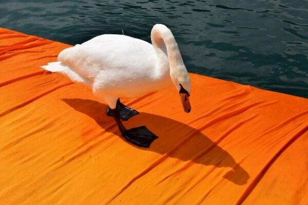 Floating Piers: le foto degli animali che non se lo sono fatto sfuggire!