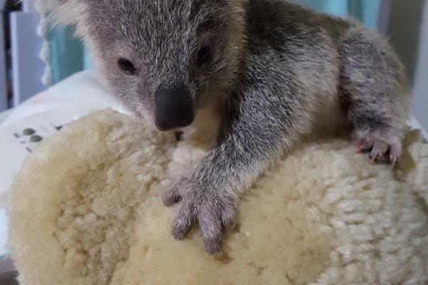 Australia: cucciolo di koala senza mamma sceglie come amico un peluche