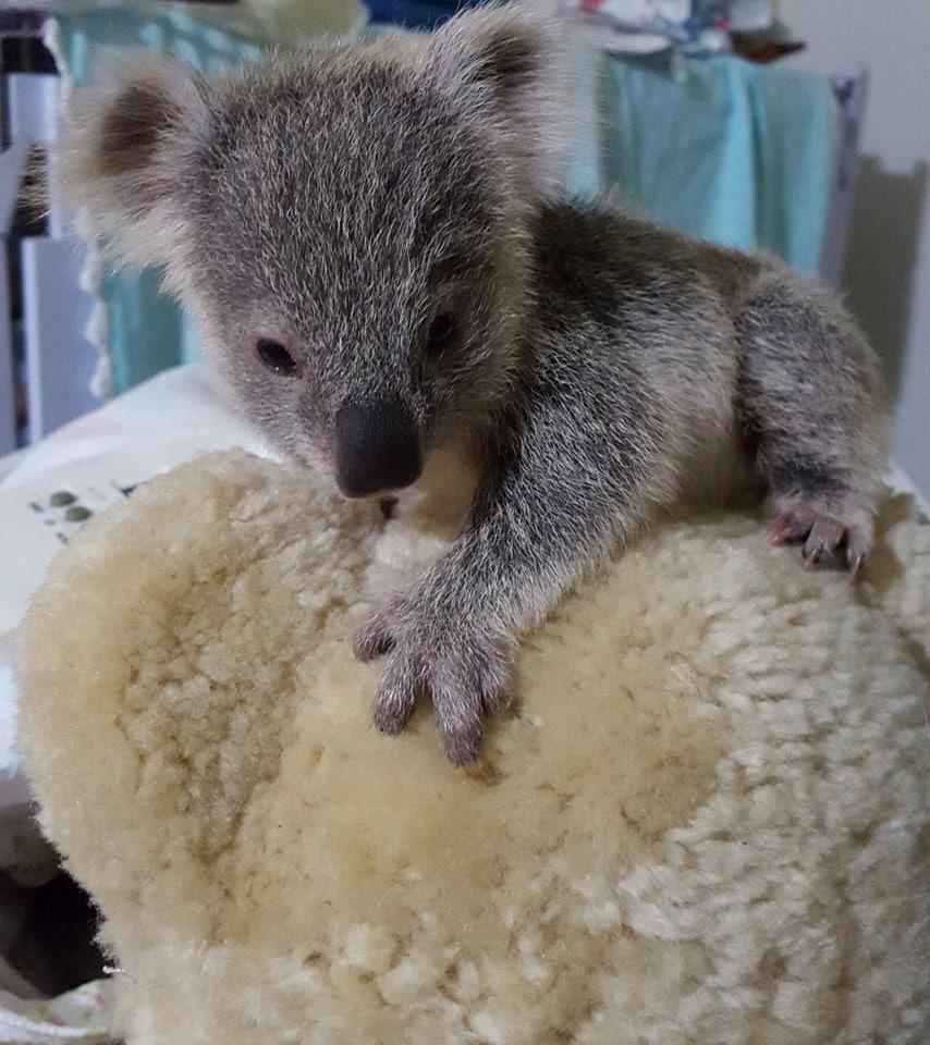 Australia cucciolo di koala senza mamma sceglie come amico un peluche