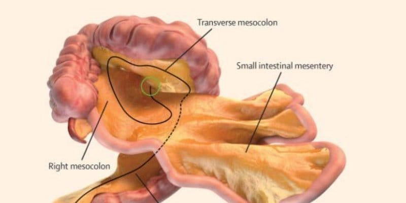 Il corpo ha un nuovo organo: ecco il mesentere!