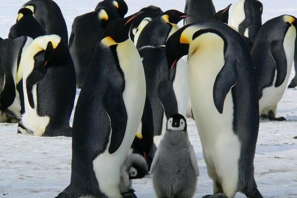 Curiosità animali | 10 fatti sul pinguino imperatore