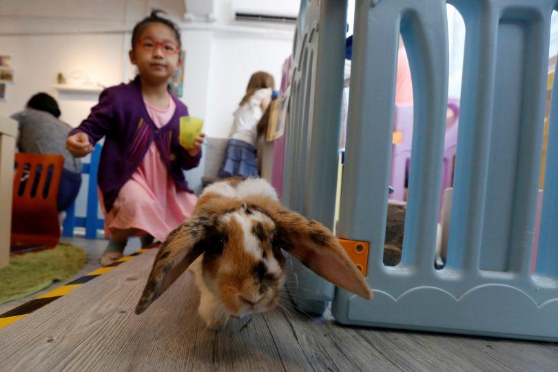 Hong Kong: apre Rabbitland cafe, per mangiare tra i conigli (FOTO)