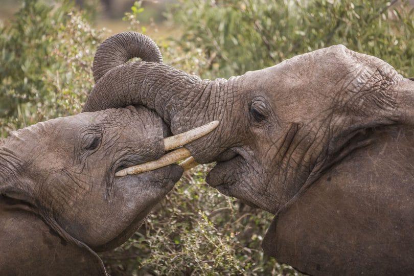 Dieci cose che non sapevi sugli elefanti