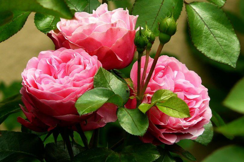 Junior reporter, i colori delle rose dal rosso passione al blu mistero