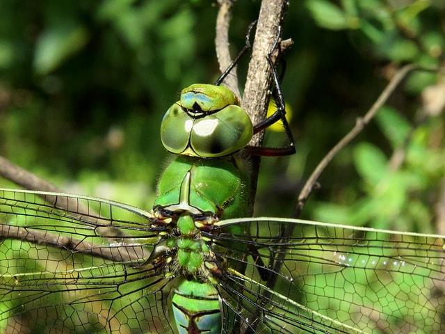La rapida libellula imperatore
