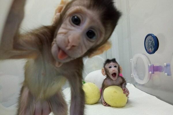 Guarda le foto di Zhong Zhong e Hua Hua, le prime scimmie clonate al mondo!