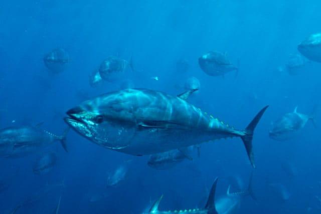 Il tonno mediterraneo