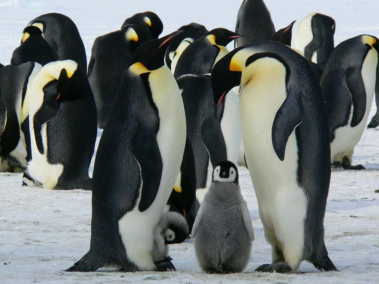 Il selfie dei pinguini diventato virale