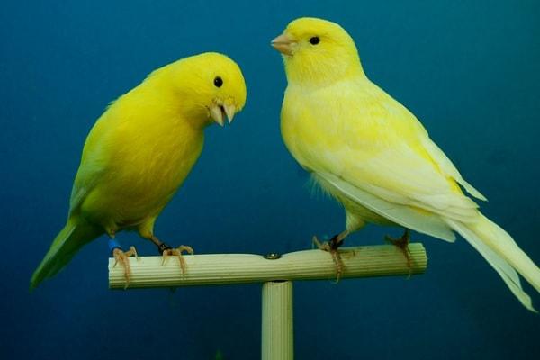 Il canarino