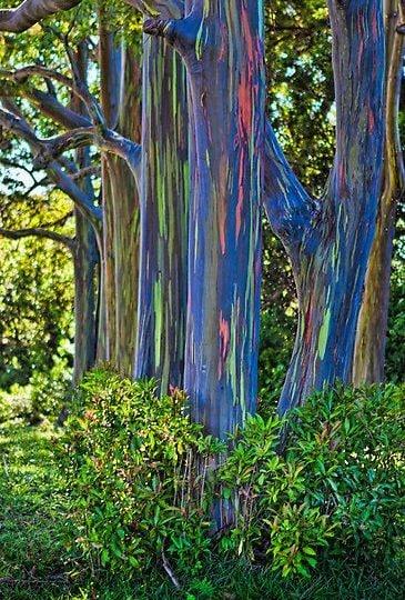 Eucalyptus deglupta, l'albero con i colori dell'arcobaleno