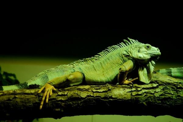 L'iguana verde, la lucertolona degli alberi del Sudamerica!