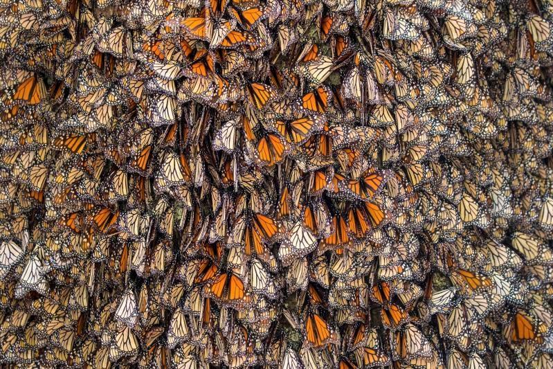 Guarda la spettacolare migrazione delle farfalle in Messico!