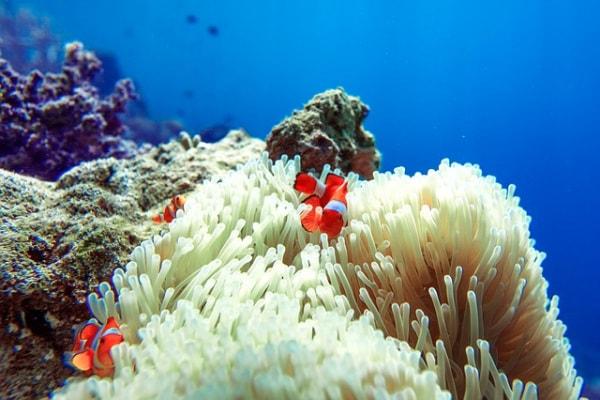L'anemone di mare, un polipo urticante