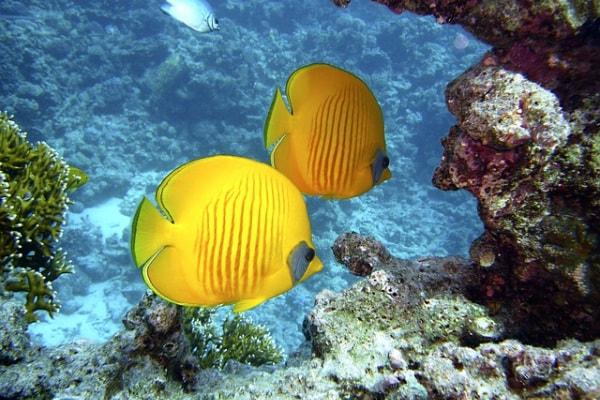 La barriera corallina hawaiana è a rischio