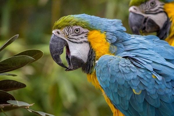 Il pappagallo ara