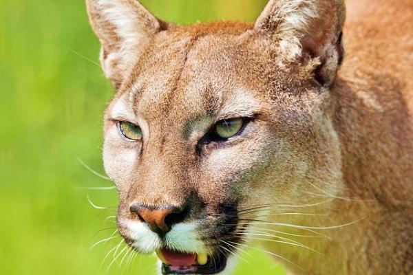 Il puma, il felino predatore d'America!