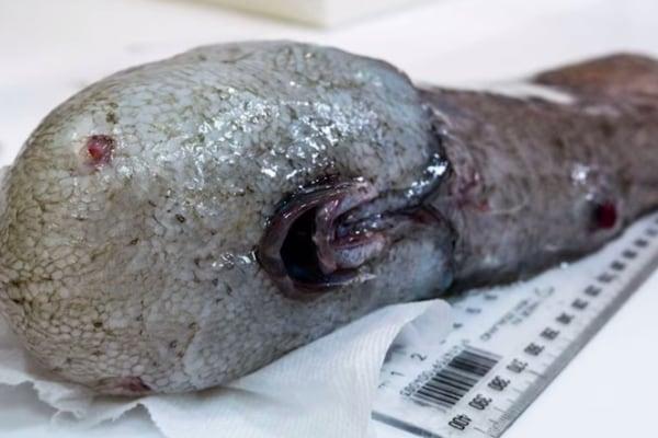 """Ricomparso in Australia il """"Pesce senza faccia""""!"""