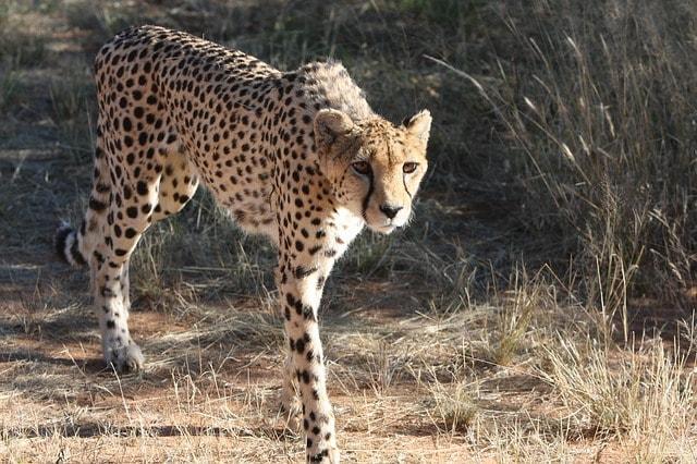 Conosciamo il ghepardo, il velocista del Regno Animale!