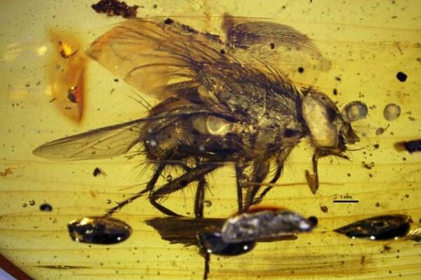 Ritrovato un antenato della mosca: è vecchio di 17 milioni di anni!
