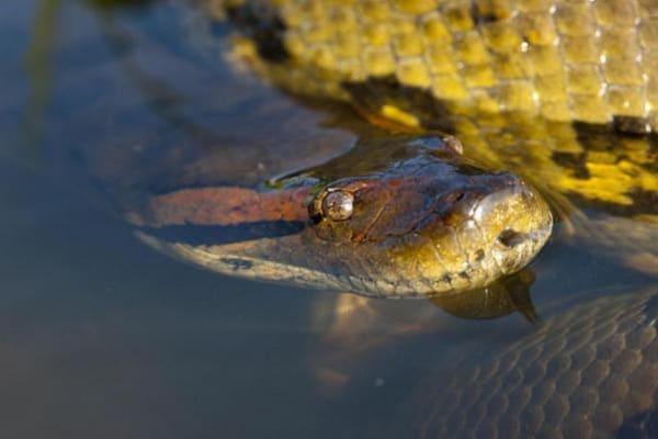 Il serpente più grande del mondo: l'anaconda verde