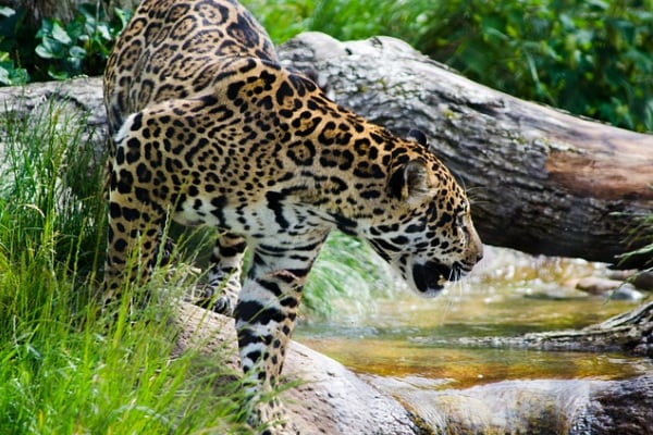 Il giaguaro, il più grande felino americano