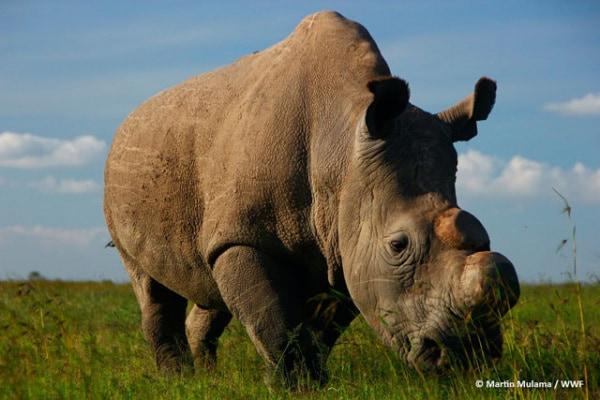 È morto Sudan, l'ultimo maschio di rinoceronte bianco