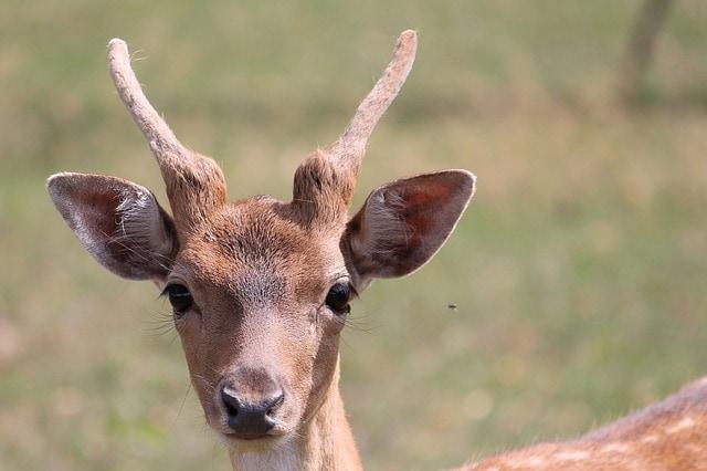 Il capriolo il riservato abitante dei boschi focus junior for Capriolo animale