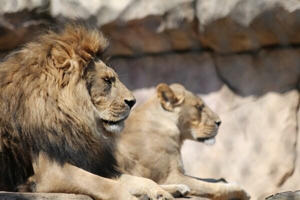 Il re della foresta: ecco il leone!