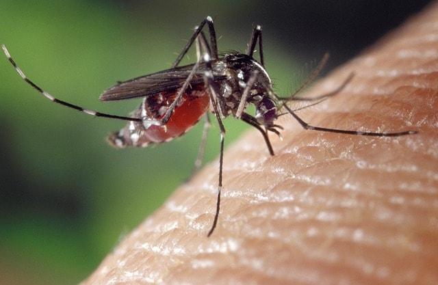Quanto vive una zanzara e perché ti punge?