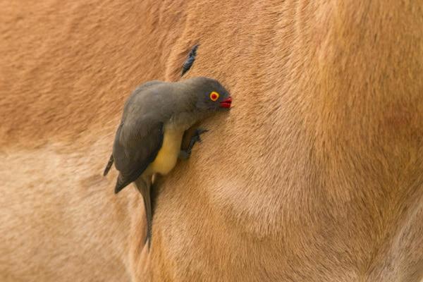 La bufaga, un uccello che… fa le pulizie| Gallery