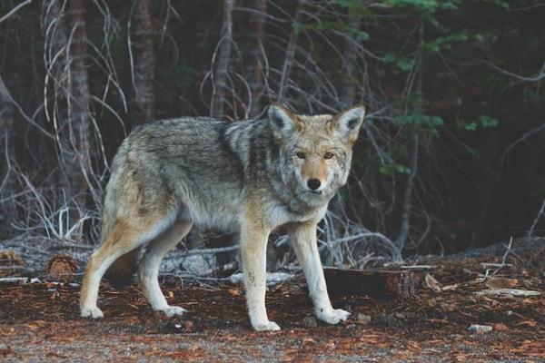 Alla scoperta del lupo grigio