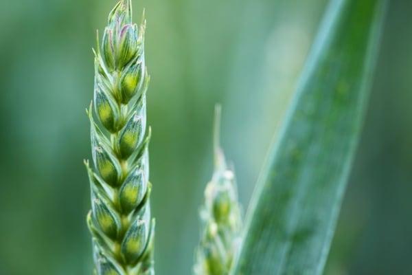 Scoperti nel deserto del Sahara resti di piante coltivate 10.000 anni fa