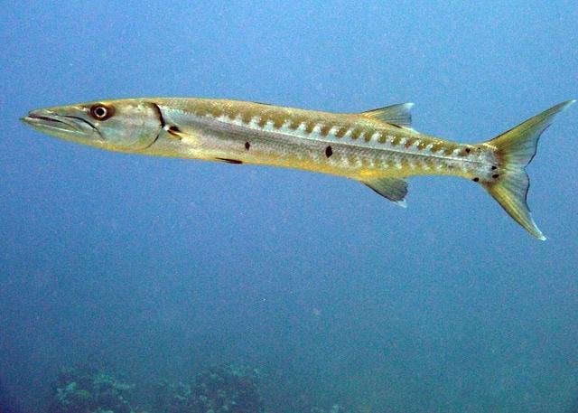 Il barracuda mediterraneo
