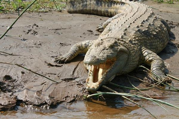 Il terrore del fiume: ecco il coccodrillo del Nilo!
