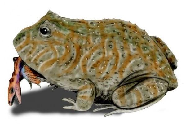Il Beelzebufo, la rana che ingoiava i dinosauri