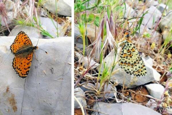 Scoperta una nuova specie di farfalla